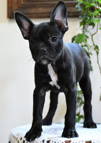 ICA Registered Frenchton Puppy For Sale Shiloh, OH Female- Zoey