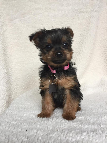 Yorkshire Terrier For Sale Fredericksburg, OH Female- Zoey