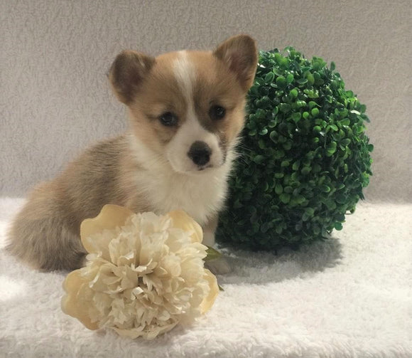 ACA Registered Pembroke Welsh Corgi For Sale Holmesville, OH Female- Adeline