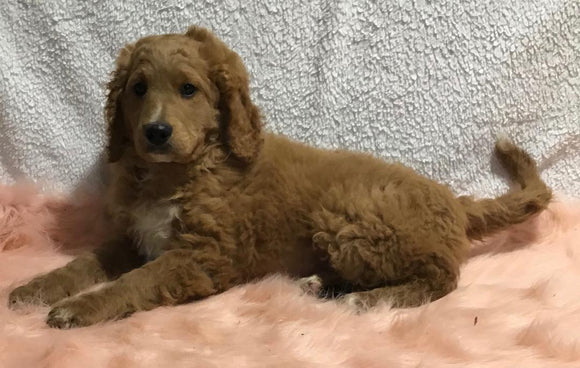 F1B Mini Goldendoodle For Sale Holmesville, OH Male - Donald