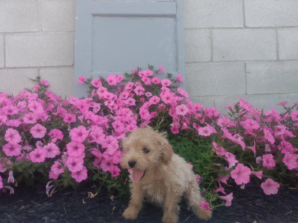 Mini Aussiedoodle For Sale Wooster, OH Male- Carter