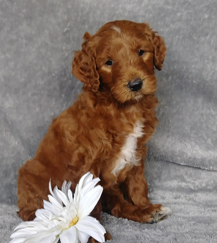 Goldendoodle For Sale Millersburg, OH Male- Root Beer