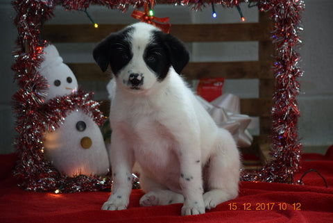 Border Collie - Norwegian Elkhound Mix Puppy For Sale Female Sandy Apple Creek, Ohio