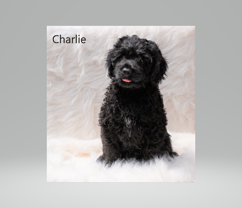 Cockapoo Puppy For Sale Dundee, OH Male- Charlie