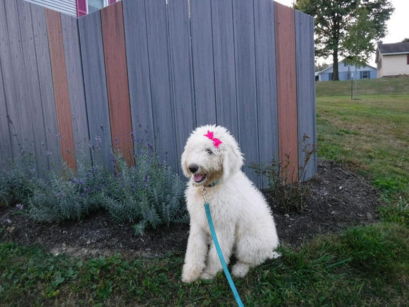 F1B Sheepadoodle For Sale Baltic, OH Male- Charley