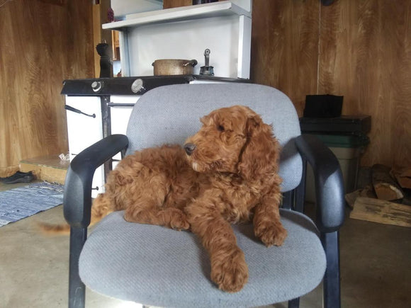 F2 Standard Goldendoodle For Sale New Waterford, OH Male- Rusty
