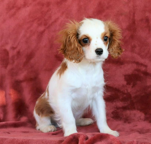 AKC Registered Cavalier King Charles Spaniel For Sale Fredericksburg, OH Male- Bingo