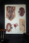 Vintage Anatomical Chart - Dresden: The Kidney-Anatomy Boutique-Anatomy Boutique