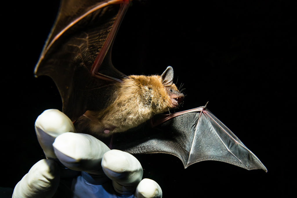 Bat Researcher using mist net