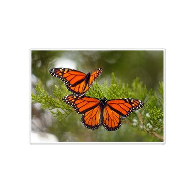 """Migrating Monarch Butterflies"", Unframed Photograph by Tom Gralish"
