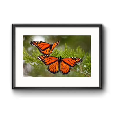 """Migrating Monarch Butterflies"", Framed Photograph with Mat by Tom Gralish"