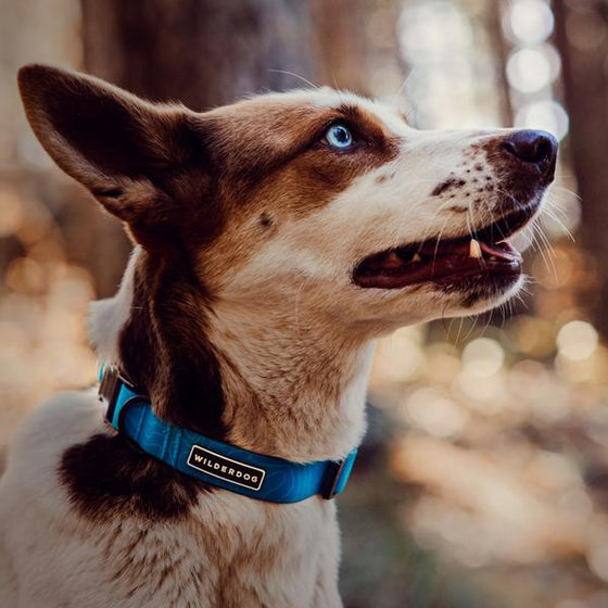 Wilderdog Waterproof Collar - Vancouver, BC CANADA
