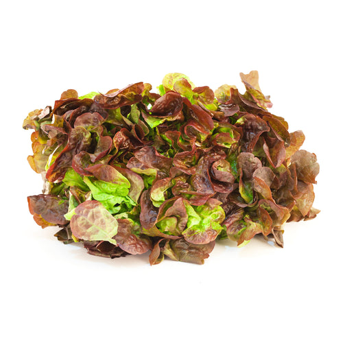 Red Oak Lettuce