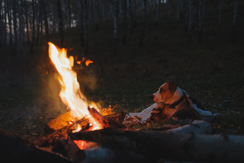 Dog rests by the campfire in the dusk, low key image. Camping, hiking vacation with pets in the forest, active rest outdoors