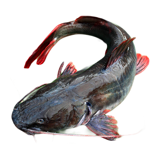 Asian Redtail Catfish ( Small size ) less than 2kg  price per kg (as a whole)