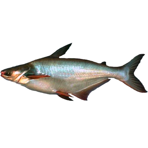 Bocourt River Catfish price per kg (as a whole)