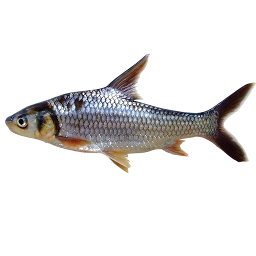 Soldier River Barb Fish price per kg (as a whole)