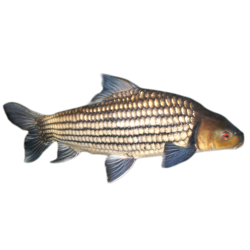 Striped Barb Fish price per kg(as a whole)