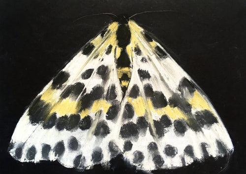 Junior Drawing School - Draw a Magpie Moth