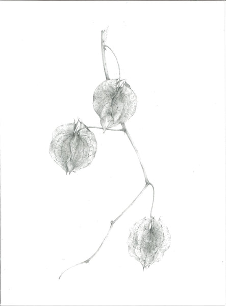 384, Louisa Crispin, Untitled (physalis), Graphite on paper 190x140mm