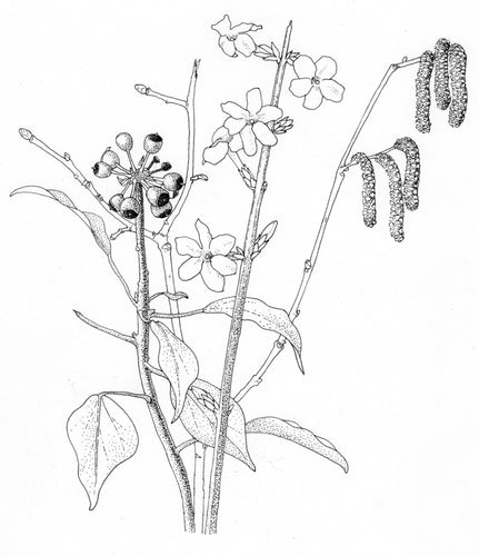Botanical Drawing