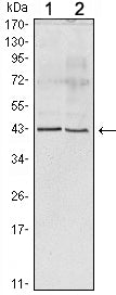 Figure 1: Western blot analysis using Apoa5 mouse mAb against human serum (1) and Apoa5 recombinant protein (2).
