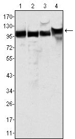 Figure 1: Western blot analysis using MSH2 mouse mAb against Hela (1), A549 (2), A431 (3) and HEK293 (4) cell lysate.