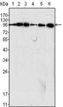 Figure 1: Western blot analysis using Dynamin1 mouse mAb against C6 (1), NIH/3T3 (2), SKN-SH (3), LN18 (4), SHSY5Y (5) cell lysate and rat brain tiisues lysate (6).