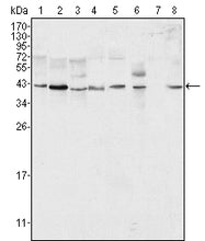 Figure 1: Western blot analysis using ERK2 mouse mAb against Hela (1), NIH/3T3 (2), MCF-7 (3), HEK293 (4), Jurkat (5), A549 (6), NTERA-2 (7) and SMMC-7721 (8) cell lysate.