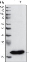 Figure 1: Western blot analysis using GSTP1 mouse mAb against PC3 cell lysate (1) and human cerebellum tissue lysate (2).