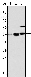 Figure 1: Western blot analysis using MYST1 mouse mAb against Hela (1), HepG2 (2) and SMMC-7721 (3) cell lysate.