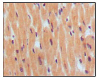Figure 1: Immunohistochemical analysis of paraffin-embedded human normal myocardium, showing cytoplasmic localization using BNP1 mouse mAb with DAB staining.