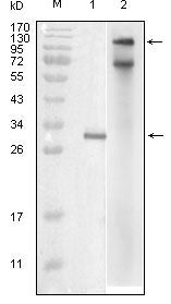 Figure 1: Western blot analysis using IKBKE mouse mAb against truncated IKBKE recombinant protein (1) and full-length IKBKE(aa1-716)-hIgGFc transfected COS7 cell lysate (2).