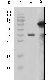 Figure 1: Western blot analysis using MLL mouse mAb against truncated MLL recombinant protein (1) and truncated GFP-MLL(aa3714-3969) transfected Cos7 cell lysate (2).