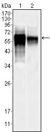 Figure 1: Western blot analysis using MAPK10 mouse mAb against NIH/3T3 (1) and SKN-SH (2) cell lysate.