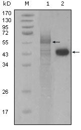 Figure 1: Western blot analysis using PAR4 mouse mAb against full-length Trx-Par4 recombinant protein (1) and Hela cell lysate (2).