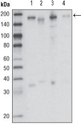 Figure 1: Western blot analysis using RON mouse mAb against HCC827 (1), HT-29 (2), HCT-116 (3) and BxPC-3 (4) cell lysate.