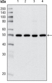Figure 1: Western blot analysis using HDAC3 mouse mAb against Hela (1), NIH/3T3 (2), C6 (3) and COS (4) cell lysate.