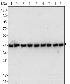 Figure 1: Western blot analysis using beta-Actin mouse mAb against NIH/3T3 (1), Jurkat (2), Hela (3), CHO (4), PC12 (5), HEK293 (6), COS (7), A549 (8) and MCF-7 (9) cell lysate.