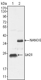Figure 1: Western blot analysis using NANOG mouse mAb against NTERA-2 cell lysate (2).