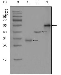 Figure 1: Western blot analysis using PEG10 mouse mAb against truncated Trx-PEG10 recombinant protein (1),truncated GST-PEG10 (aa1-120) recombinant protein (2) and full-length PEG10 (aa1-325)-hIgGFc transfected CHO-K1 cell lysate (3).