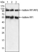 Figure 1: Western blot analysis using PEG10 mouse mAb against HepG2 (1), SMMC-7721 (2) and A549 (3) cell lysate.