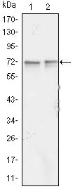 Figure 1: Western blot analysis using FMR1 mouse mAb against Jurkat (1) and K562 (2) cell lysate.