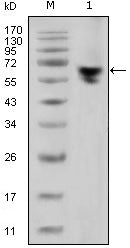 Figure 1: Western blot analysis using human IgG (Fc specific) mouse mAb against human serum (1).