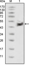 Figure 1: Western blot analysis using p53 mouse mAb against HEK293 cell lysate(1).