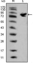 Figure 1: Western blot analysis using ISL1 mouse mAb against full-length ISL1 (aa1-349)-hIgGFc transfected HEK293 cell lysate(1).