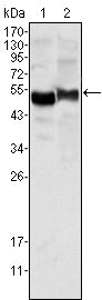 Figure 1: Western blot analysis using AAT mouse mAb against human plasma (1) and NIH/3T3 cell lysate (2).