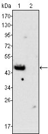 Figure 1: Western blot analysis using GATA4 mouse mAb against rat fetal heart (1) and adult heart (2) tissues lysate.