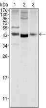 Figure 1: Western blot analysis using WNT1 mouse mAb against NIH/3T3 (1), 3T3L1 (2) and Hela (3) cell lysate.