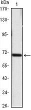 Figure 1: Western blot analysis using HSP70 mouse mAb against Hela (1) cell lysate.